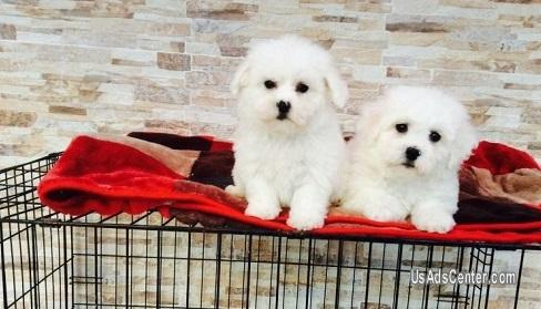 Clever Bichon Frise Puppies | Pets for sale in Phoenix, Arizona