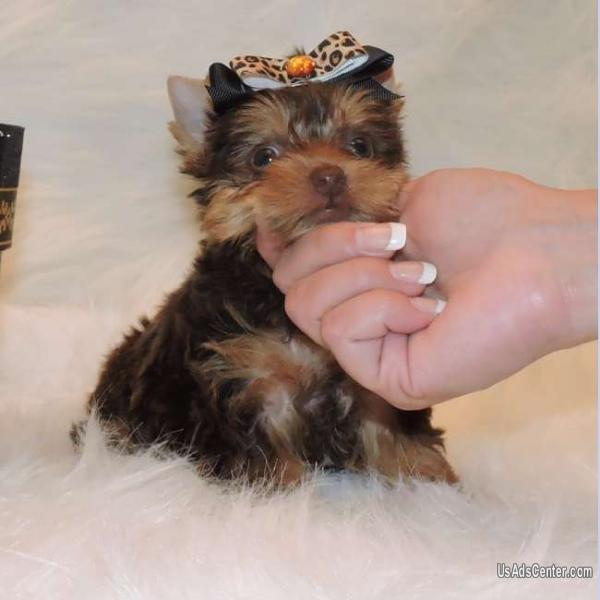 Healthy Teacup Yorkie Puppies Available Text To 720 440 5605