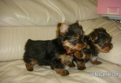 Sweet Male And Female Yorkie Puppies For Sale Now Pets For Sale In