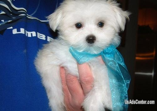 Teacup Maltese Puppies Pets For Sale In Houston Texas
