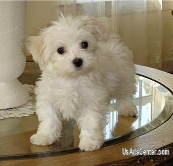 Cute Male And Female Maltese Puppies Pets For Sale In Birmingham