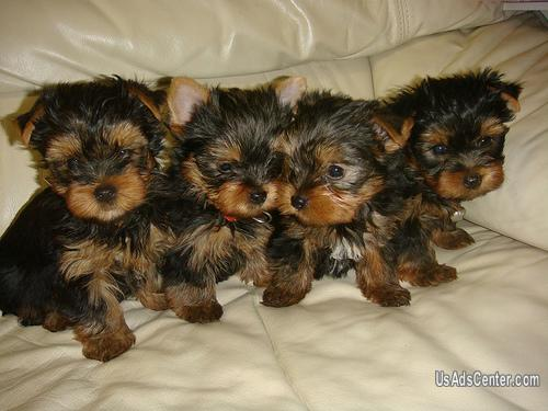 Teacup Yorkie Puppies For Adoption Pets For Sale In Miami Florida