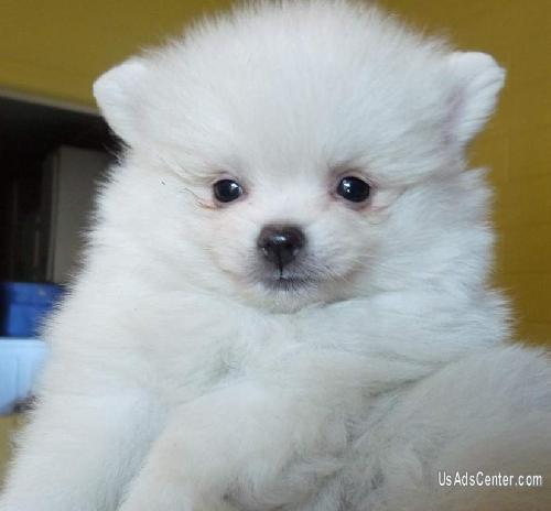 Flashy And White Teacup Pomeranian Puppies For Adoption Pets For