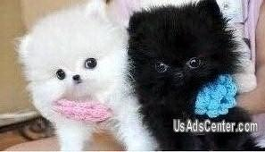 Cute Black And White Pomeranian Puppies