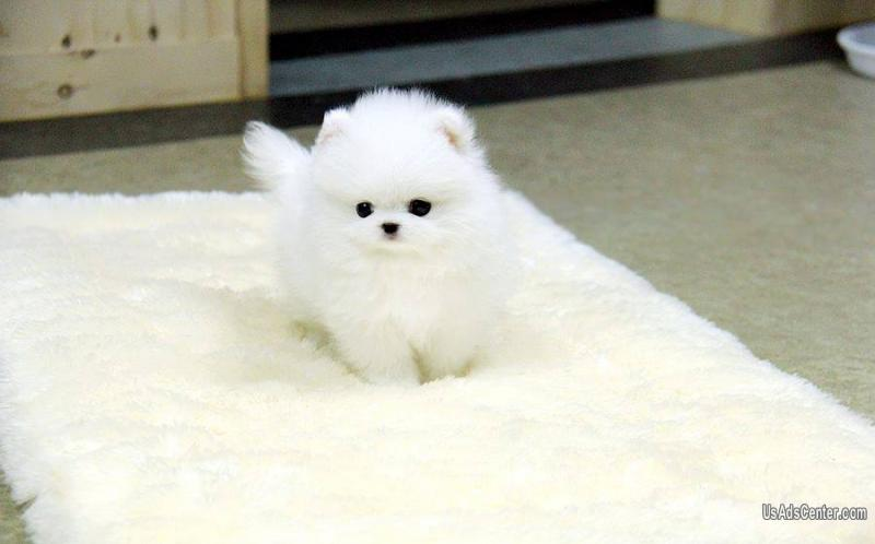 Adorable Mini Pomeranian puppies for rehoming