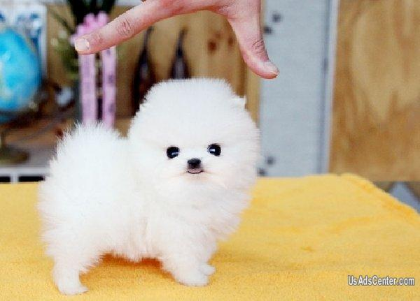 Teacup Pomeranian Puppies Available 909 389 5762 Pets For Sale