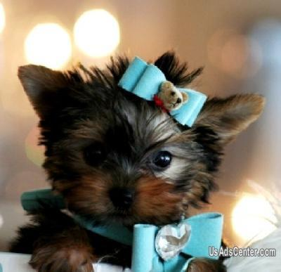 Teacup Yorkie Puppies For Free Adoption Now Text 360 437 6602