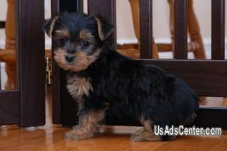 Affectionate Teacup Yorkie Puppies Pets For Sale In Montgomery