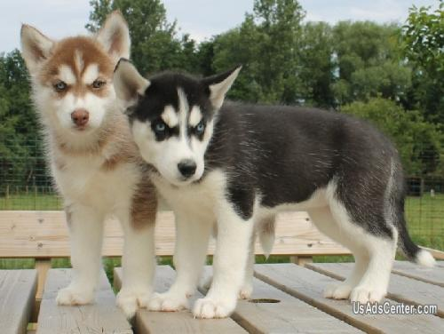 Pure Breed Siberian Husky Puppies Available Pets For Sale In