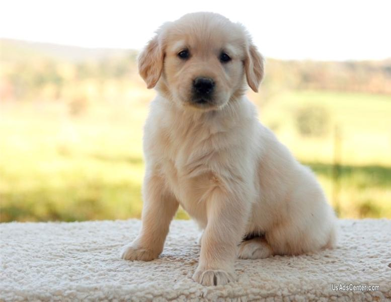 Akc Golden Retriever Puppies Pets For Sale In Birmingham Alabama