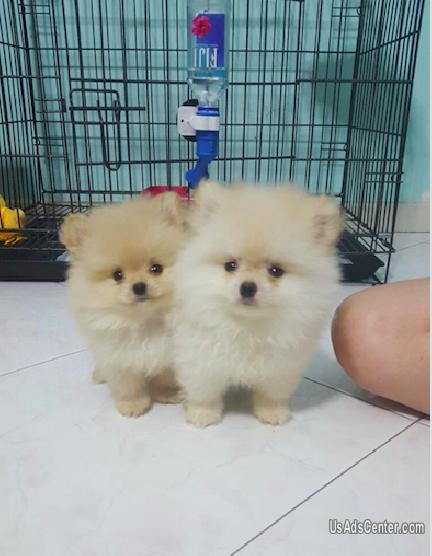 White Miniature And Well Behave Home Raised Pomeranian Puppies Pets For Sale In East Peoria Illinois Usadscenter Com Mobile 176776