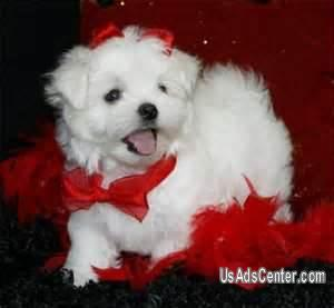 Picture of Cute Maltese Puppies For Adoption