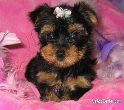 Super Cute Looking Teacup Yorkie Puppies Available Pets For Sale