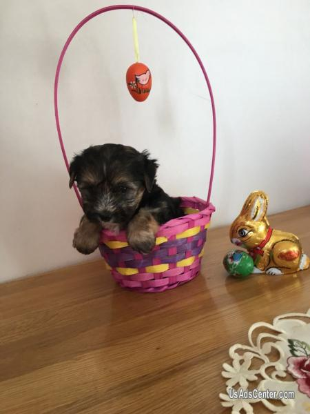 Teacup Purebred Tiny Yorkie Puppies Pets For Sale In Denver